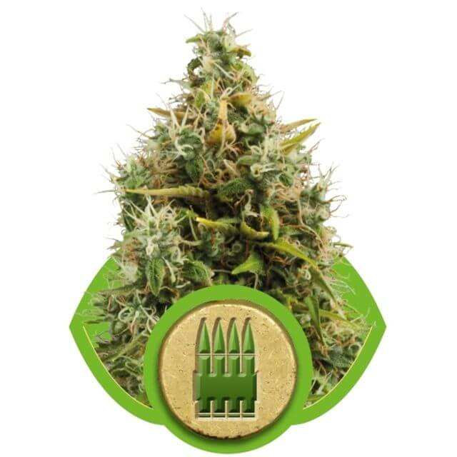 Buy Royal Queen Seeds Royal AK Automatic FEM
