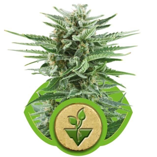 Buy Royal Queen Seeds Easy Bud FEM
