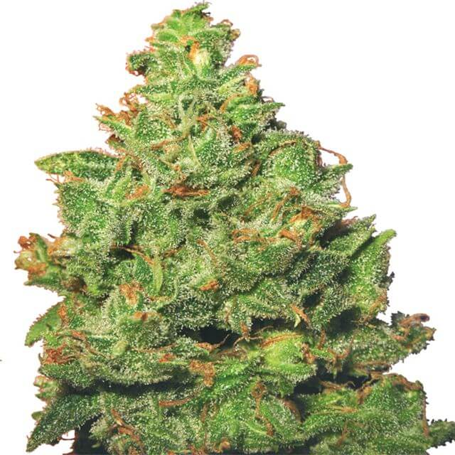 Buy Next Generation Seeds  Edelweiss FEM