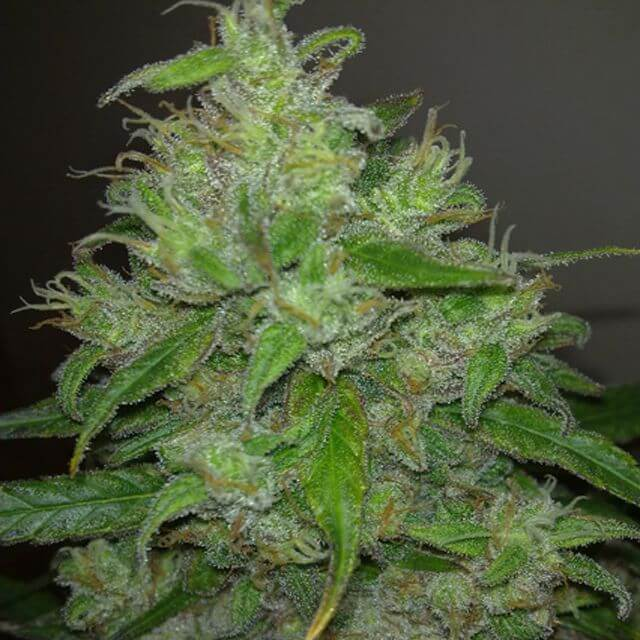 Buy Resin Seeds Cannatonic FEM