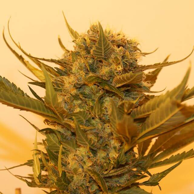 Buy Resin Seeds Sour P  FEM