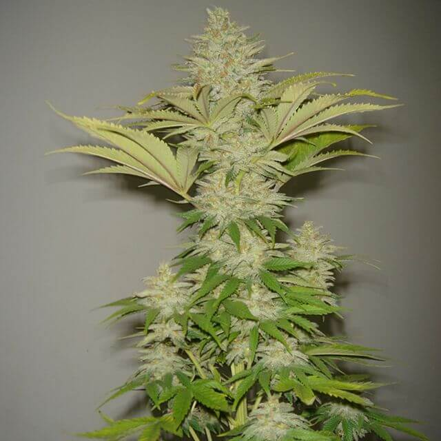 Buy Resin Seeds Bubblicious FEM