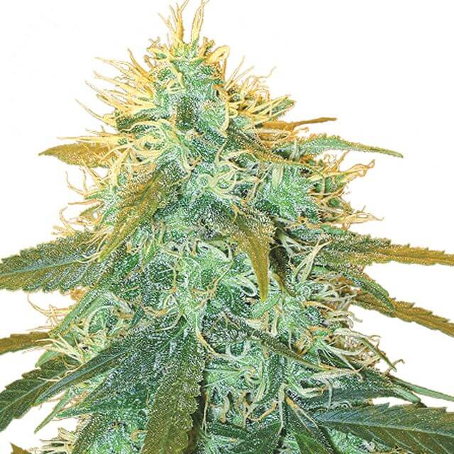 Buy The Flying Dutchmen Seeds Skunk # 1 FEM