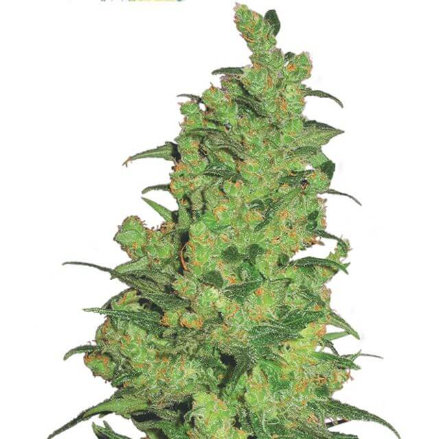 Buy The Flying Dutchmen Seeds Temple Haze FEM