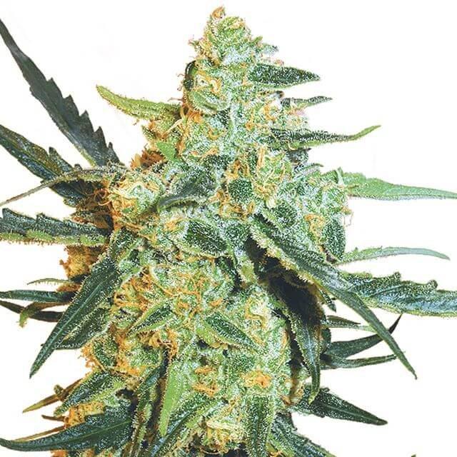 Buy Sensi Seeds Research  Blueberry Skunk FEM