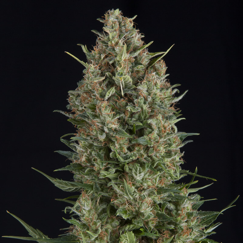 Buy Pyramid Seeds Wembley FEM