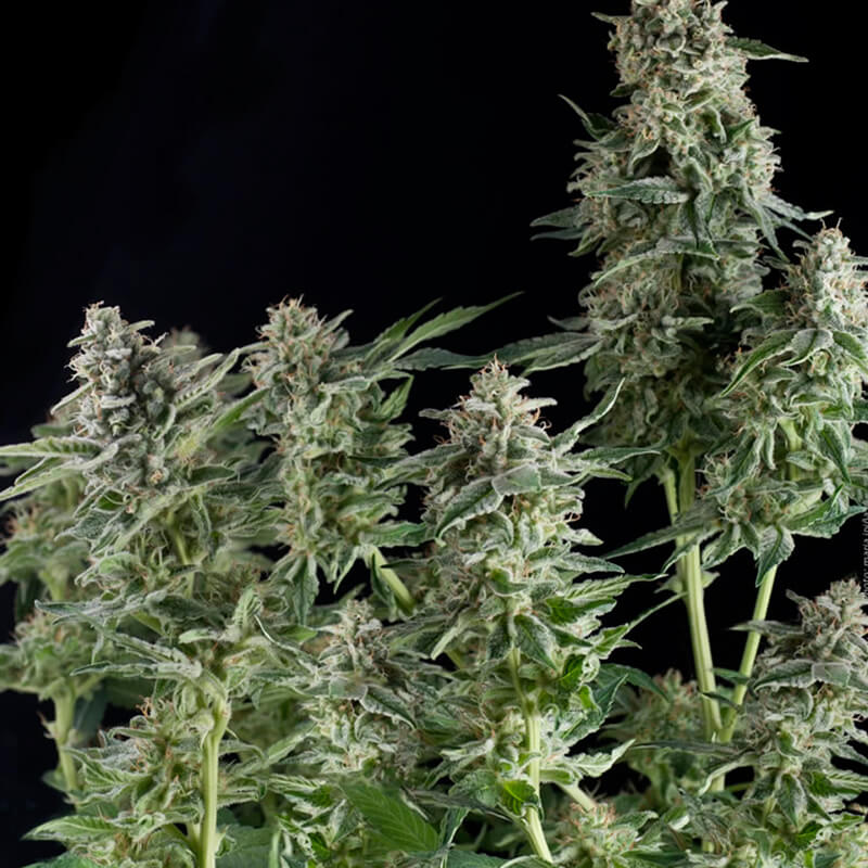 Buy Pyramid Seeds Northern Lights FEM