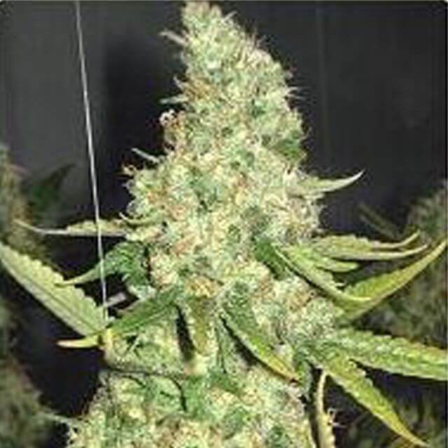 Buy Professional seeds Pure Power Plant  FEM