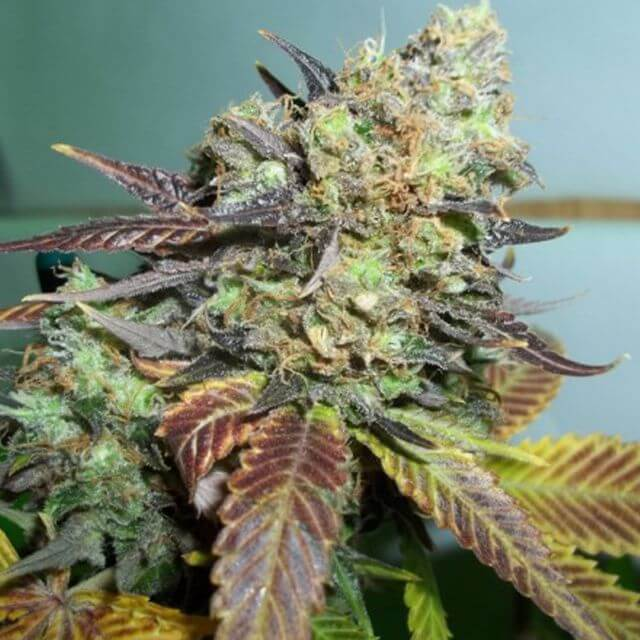 Buy Paradise Seeds Lucid Bolt FEM