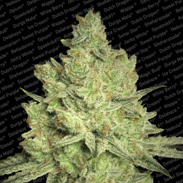 Buy Paradise Seeds Jacky White FEM