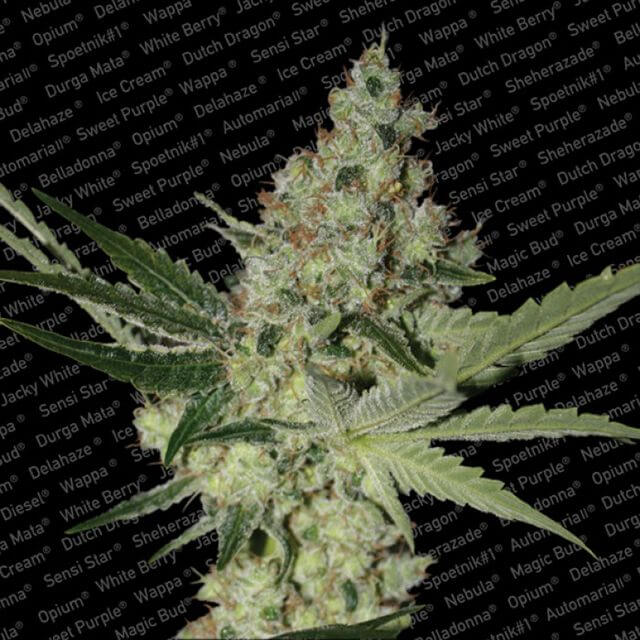 Buy Paradise Seeds Acid FEM