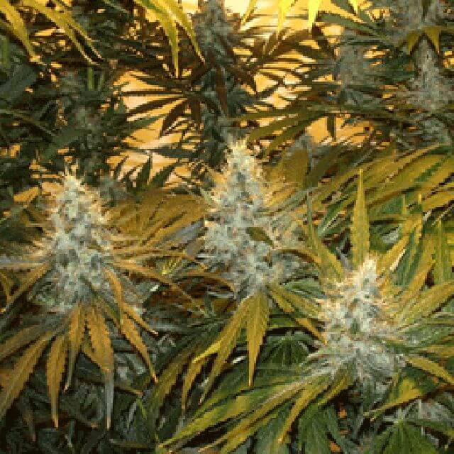 Buy Sagarmatha Seeds Chunky Skunk FEM
