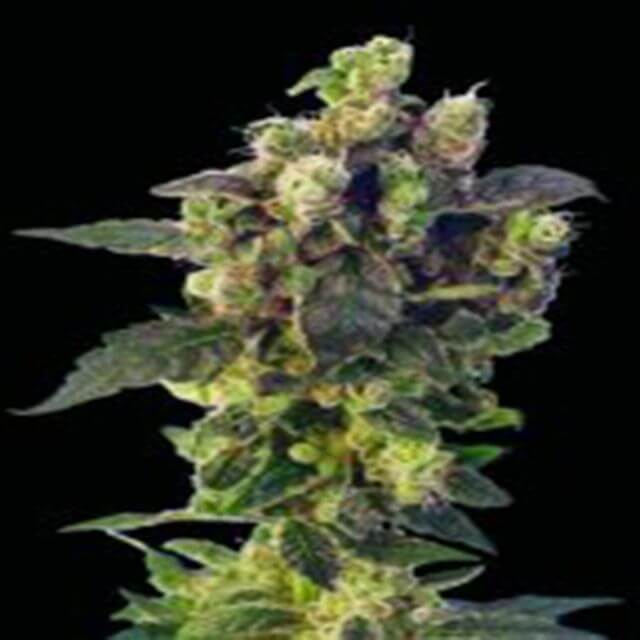 Buy Sagarmatha Seeds Blue Thunder  REG