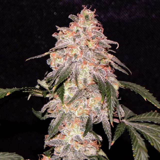 Buy Nirvana Seeds Aurora Indica REG