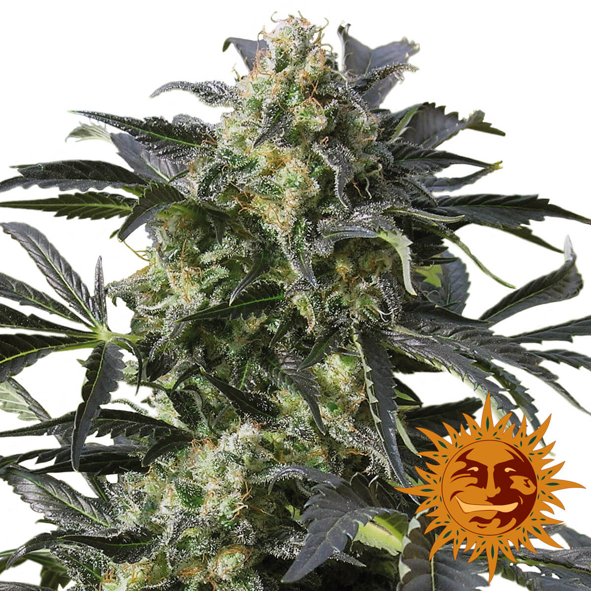 Buy Barneys Farm Seeds Crimea Blue FEM