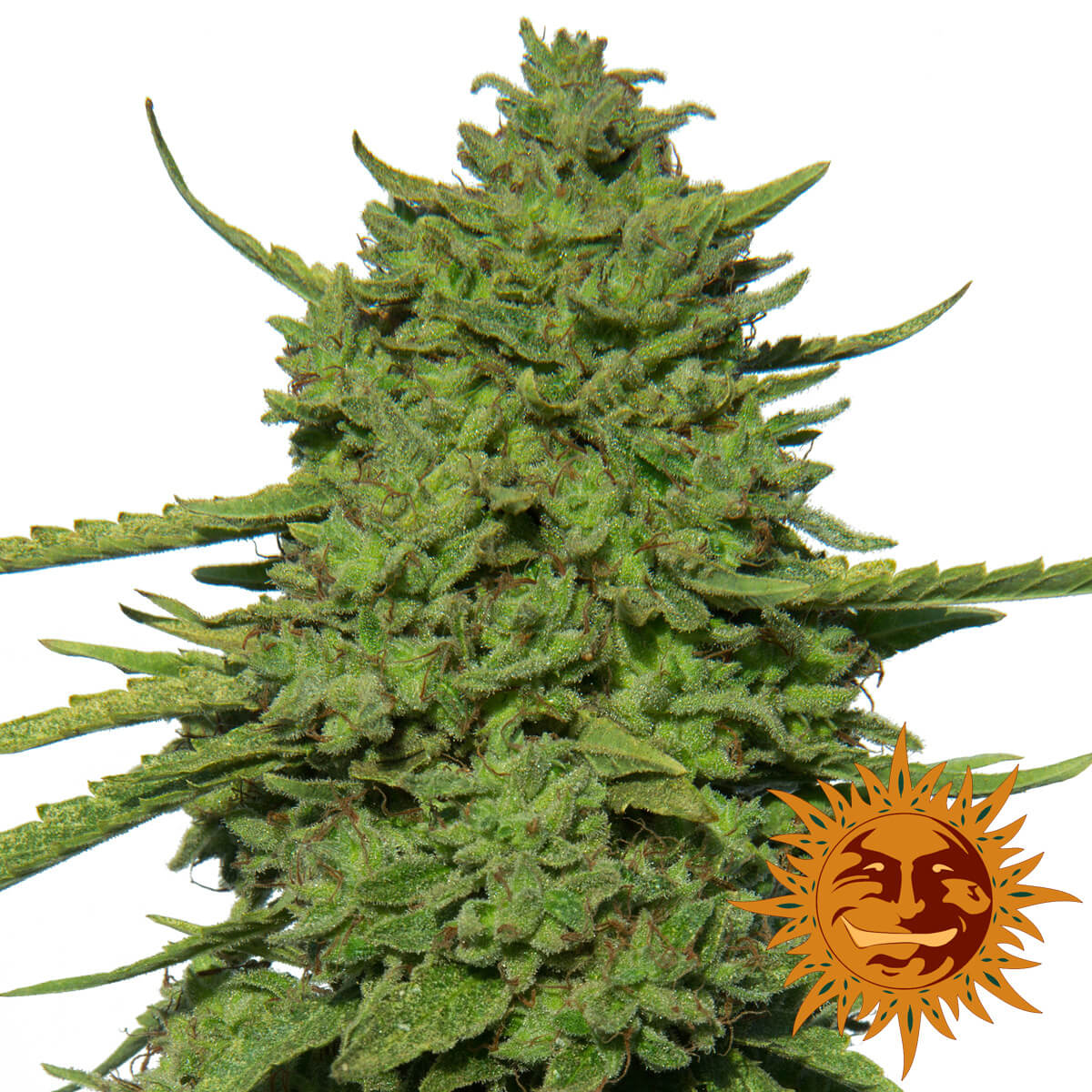 Buy Barneys Farm Seeds Amnesia Lemon FEM
