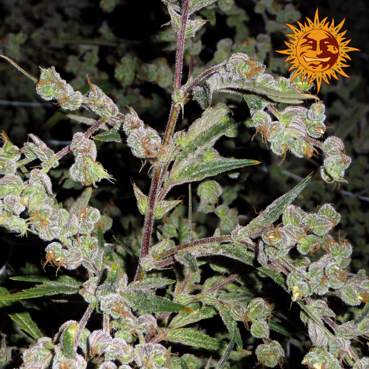 Buy Barneys Farm Seeds Dr Grinspoon FEM