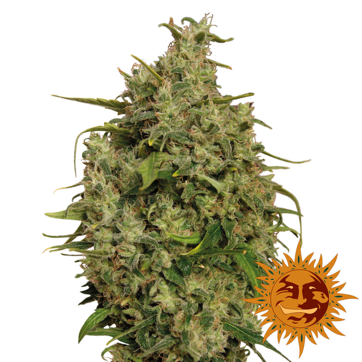 Buy Barneys Farm Seeds Sweet Tooth FEM