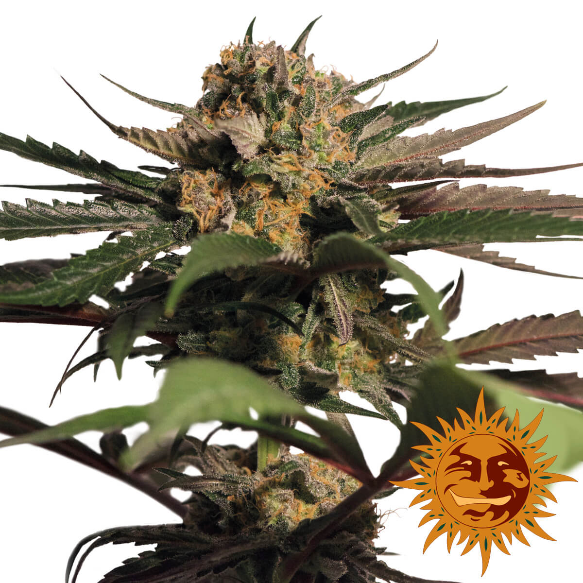 Buy Barneys Farm Seeds Violator Kush FEM