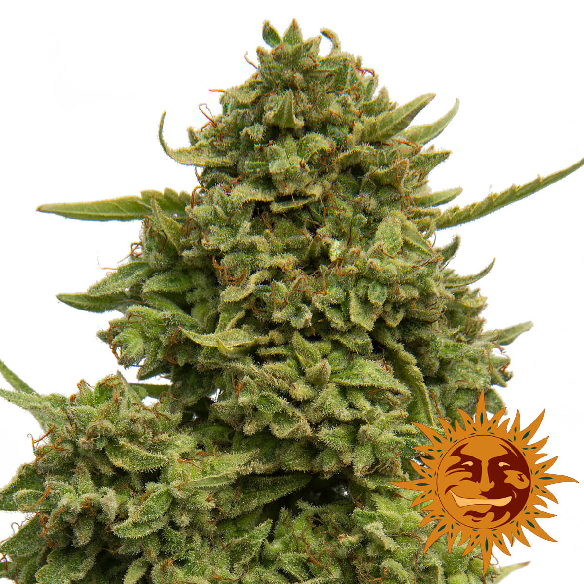 Buy Barneys Farm Seeds Pineapple Chunk FEM