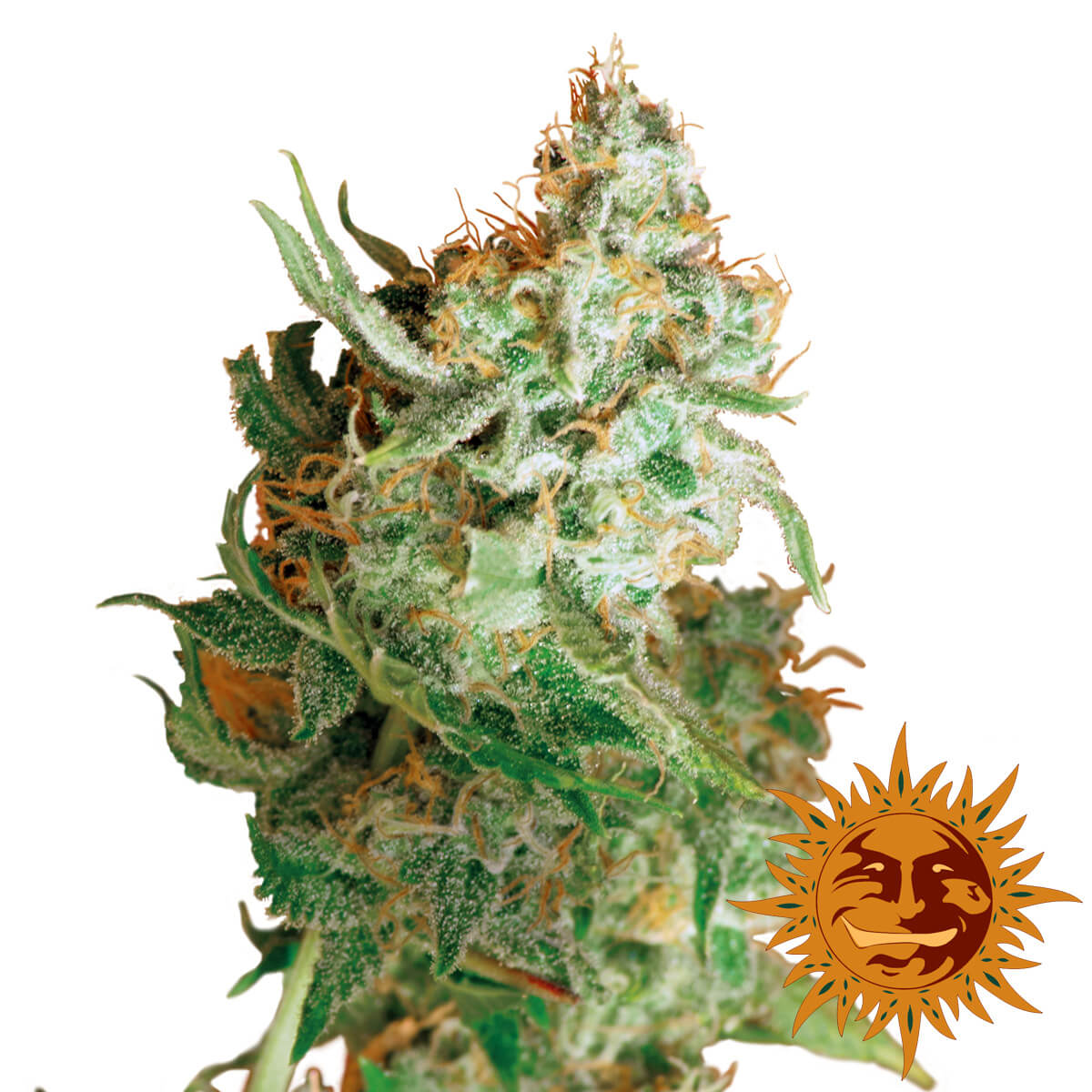 Buy Barneys Farm Seeds Red Dragon FEM