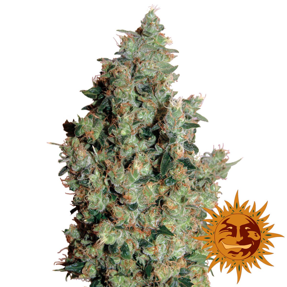 Buy Barneys Farm Seeds Tangerine Dream FEM