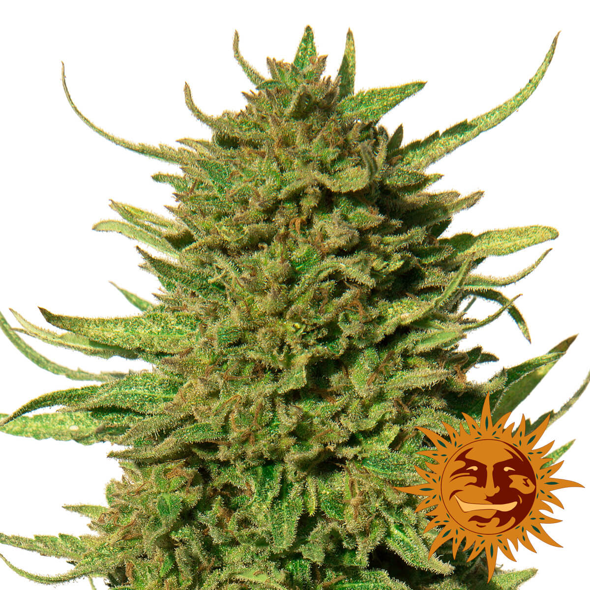 Buy Barneys Farm Seeds Critical Kush FEM