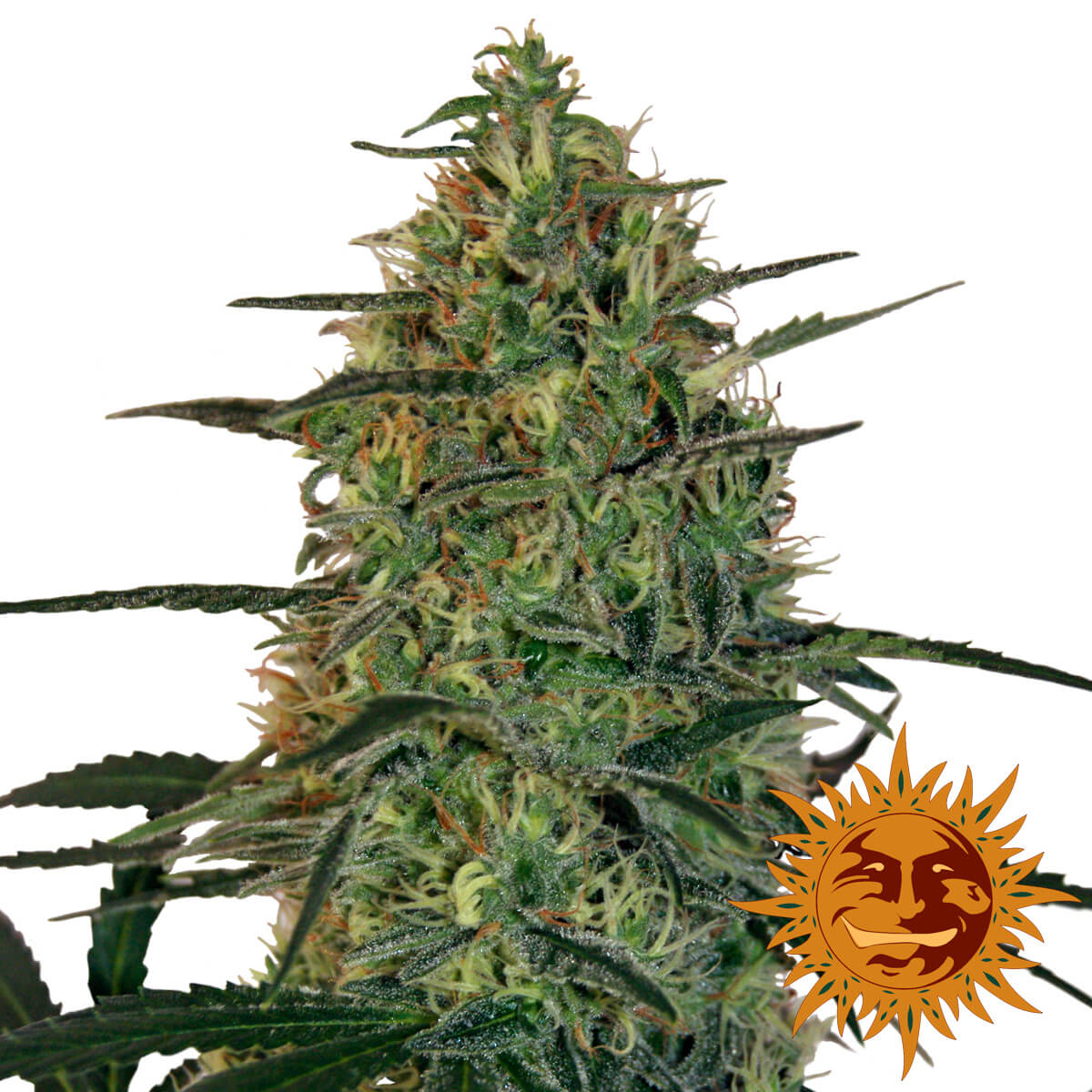 Buy Barneys Farm Seeds Malana Bomb Auto FEM
