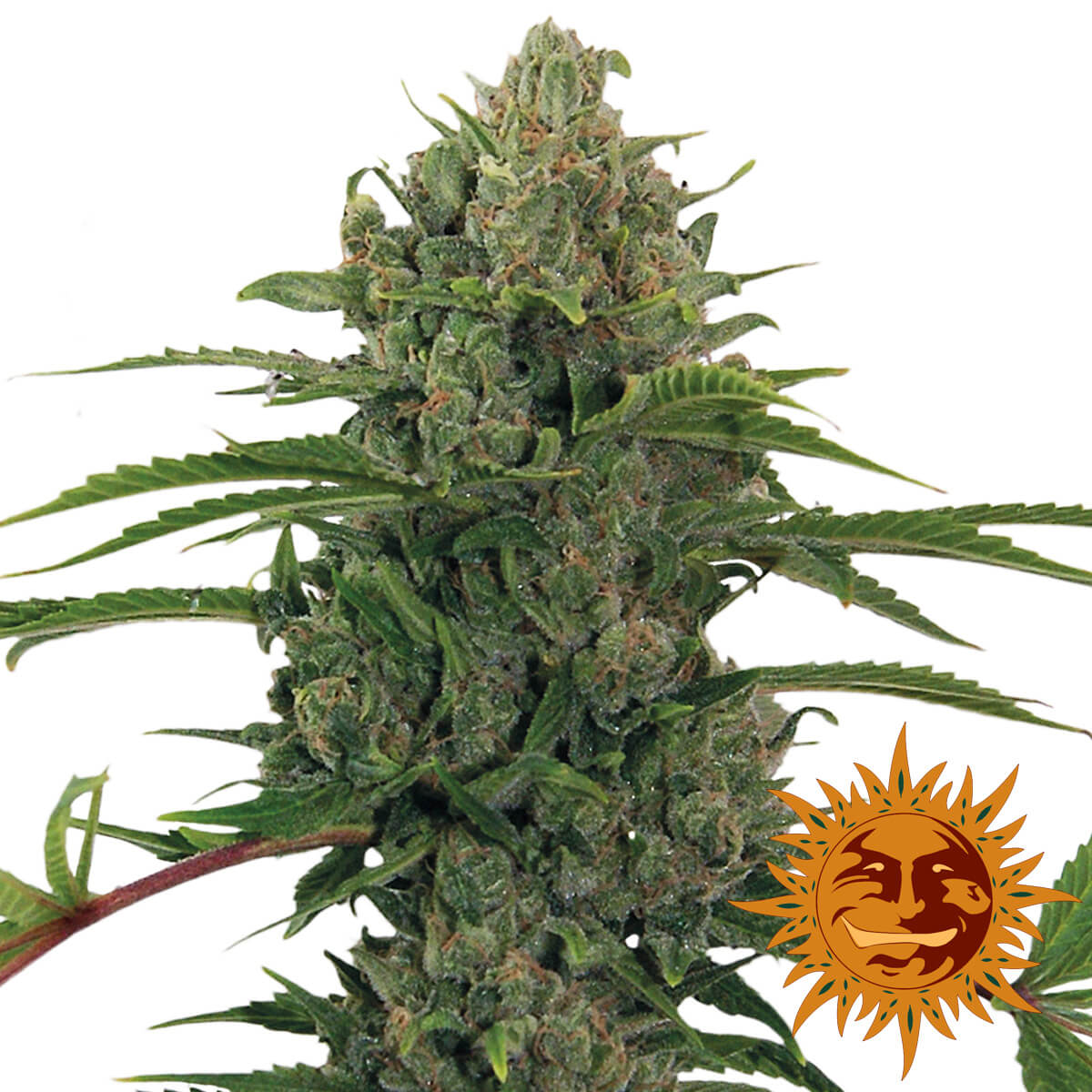 Buy Barneys Farm Seeds Critical Kush Auto FEM