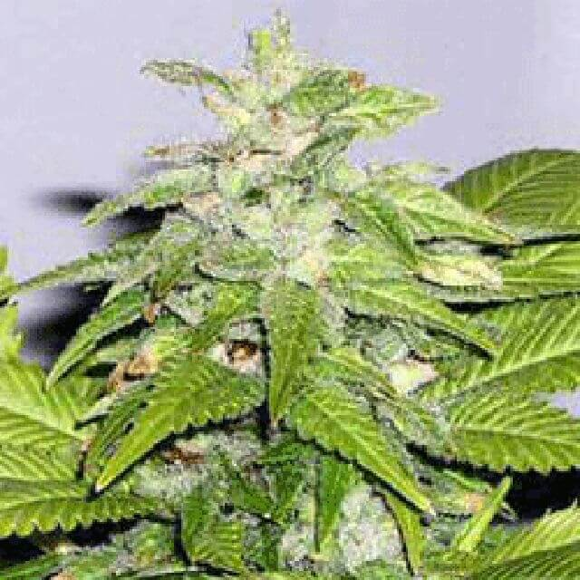 Buy Sagarmatha Seeds Early Bird Skunk  FEM