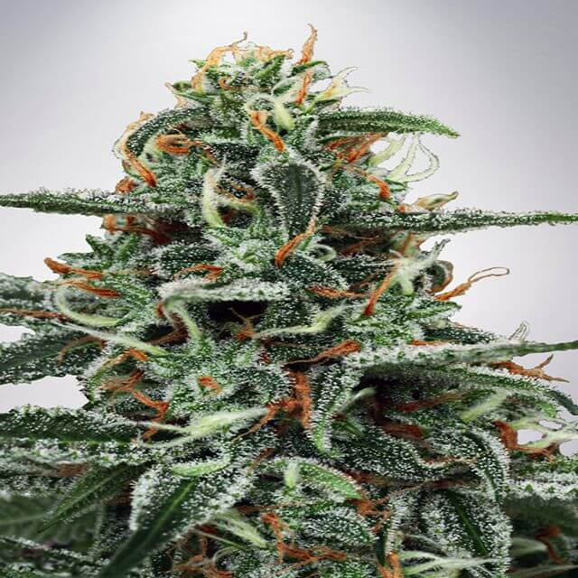 Buy Ministry of Cannabis Seeds White Widow FEM