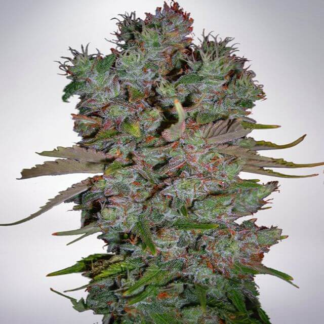 Buy Ministry of Cannabis Seeds Auto Blueberry Domina  FEM