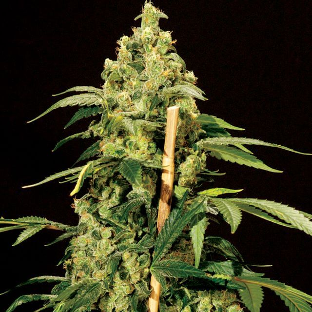 Buy The Bulldog Seeds Jack Herer FEM