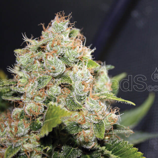 Buy Medical Seeds BCN Sour Diesel Seeds  FEM