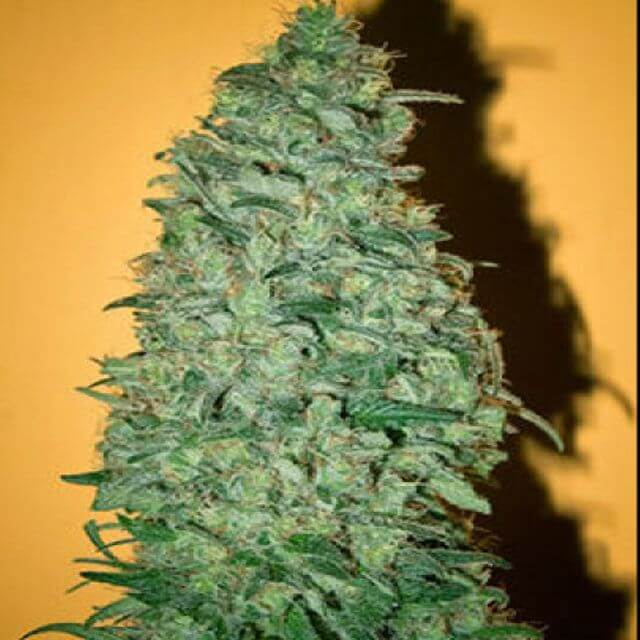 Buy Mandala Seeds California Dream FEM