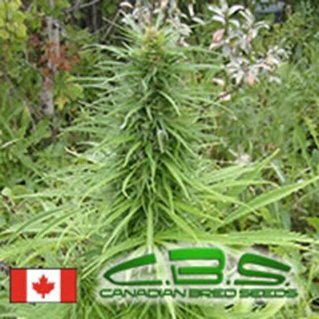 Buy Canadian Bred Seeds Early Sativa REG