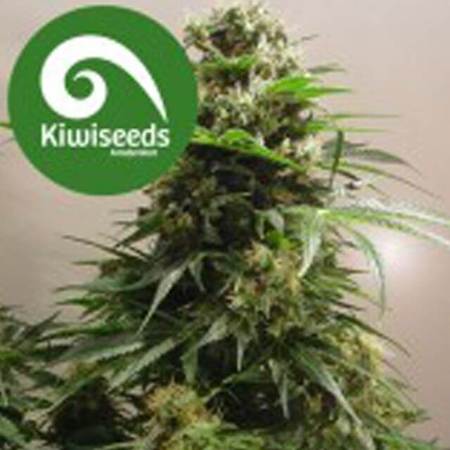Buy Kiwi Seeds Kiwi Skunk FEM