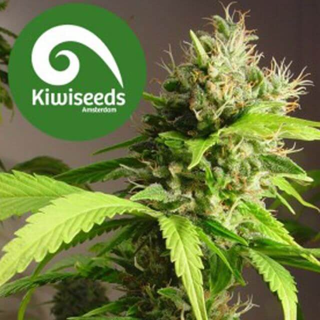Buy Kiwi Seeds Mako Haze REG