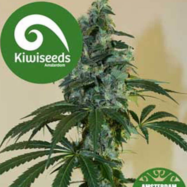Buy Kiwi Seeds G13 x Amnesia Haze REG