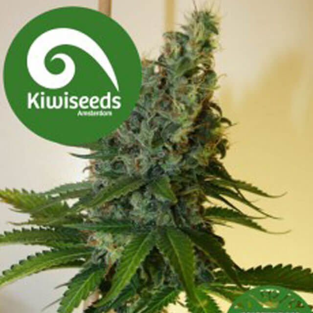 Buy Kiwi Seeds Congo Haze REG