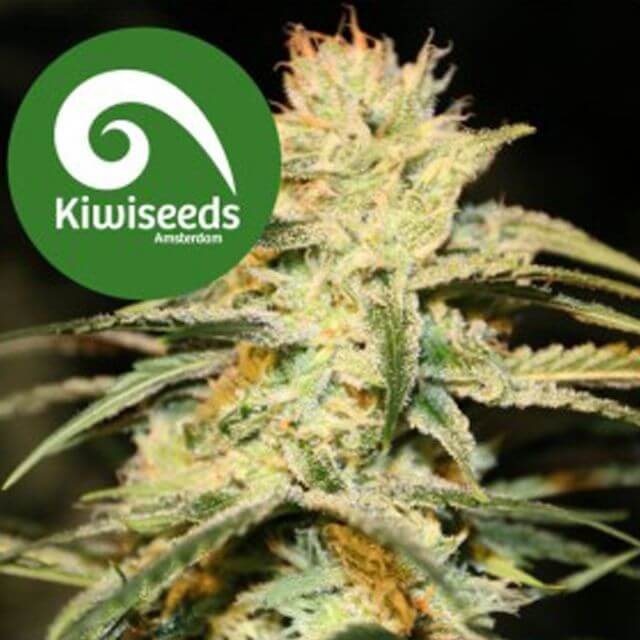 Buy Kiwi Seeds Sugar Baby Auto FEM