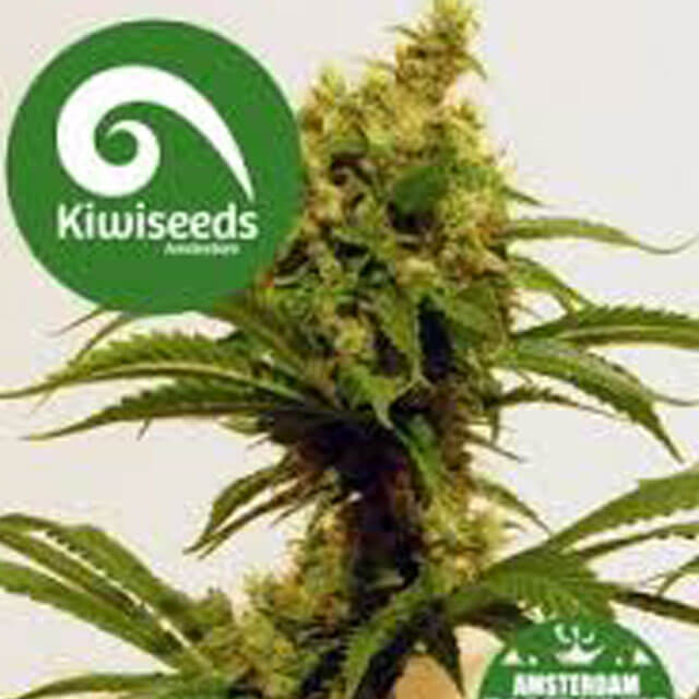 Buy Kiwi Seeds Cheese x Haze FEM