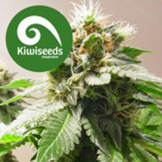 Buy BC Bud Depot Seeds  Mt Cook REG