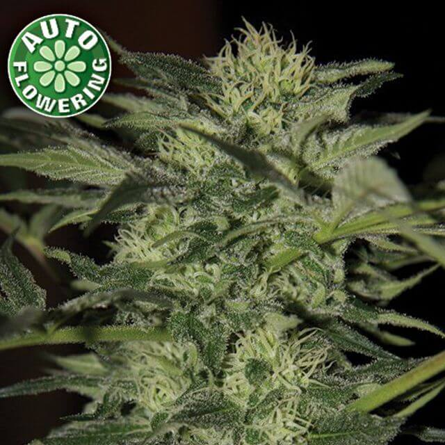 Buy Homegrown Fantaseeds  Crazy Bud Auto FEM