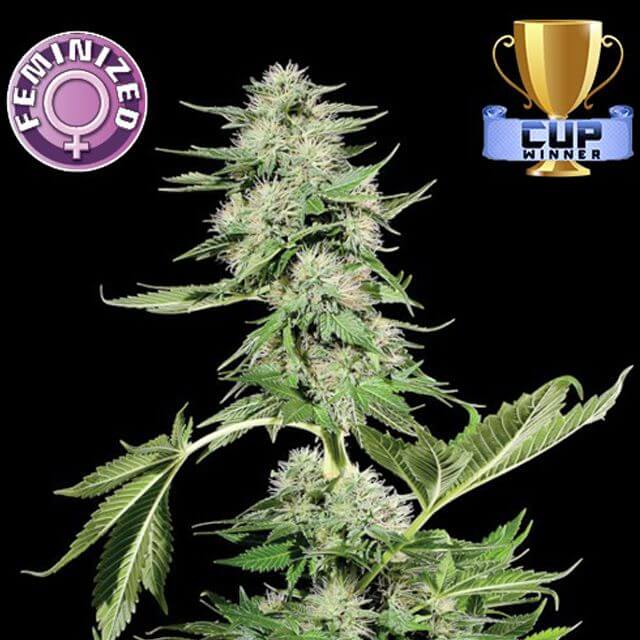 Buy Vision Seeds   Northern Light FEM