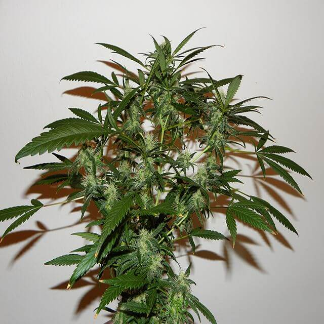 Buy Mr Nice Seeds The Cure REG