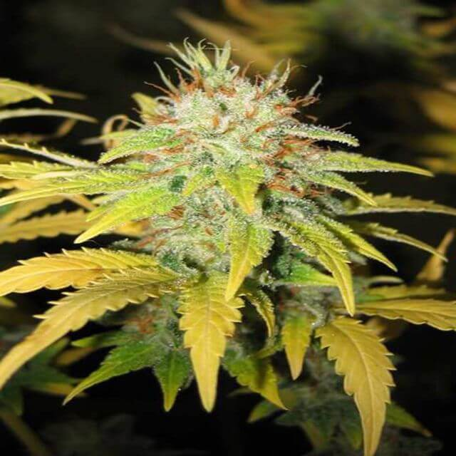 Buy Mr Nice Seeds Master Kush x Skunk REG
